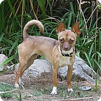 Terrier (Unknown Type, Medium)/Chihuahua Mix Dog for adoption in Santa Clarita, California - Daisy Doo