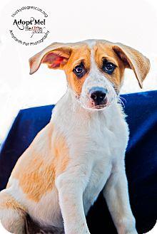 Cattle Dog Mix Puppy for adoption in Pleasanton, California - Spanky
