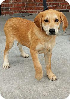 Labrador Retriever Mix Puppy for adoption in Branson, Missouri - Baxter