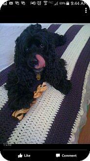 Cocker Spaniel Dog for adoption in Santa Rosa, California - Wilbur
