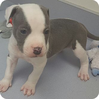 American Pit Bull Terrier Puppy for adoption in Scottsdale, Arizona - Chip