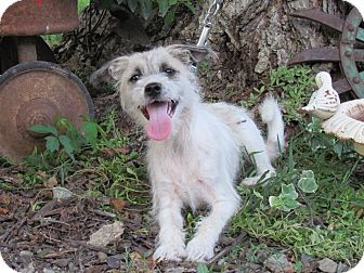 Yorkie, Yorkshire Terrier/Jack Russell Terrier Mix Puppy for adoption in Bedminster, New Jersey - FINN