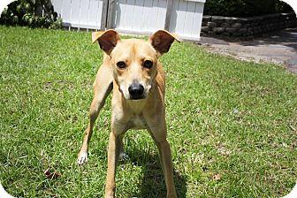 Whippet Mix Dog for adoption in Boca Raton, Florida - Tanner