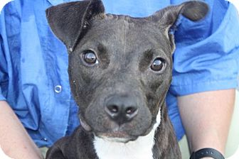 Pit Bull Terrier/Boston Terrier Mix Puppy for adoption in Farmington, Michigan - Marcy: 9 months