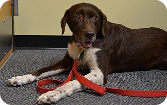 Labrador Retriever/Pointer Mix Dog for adoption in Huntsville, Alabama - CoCo