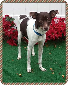 Rat Terrier Mix Dog for adoption in Marietta, Georgia - LUCKY