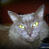 Domestic Mediumhair Cat for adoption in Richmond Hill, Ontario - Smokey