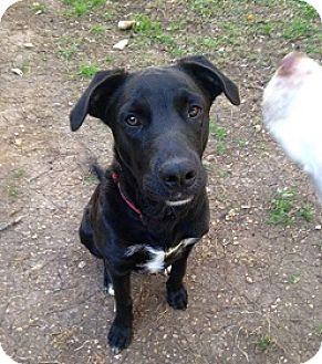 Labrador Retriever Mix Dog for adoption in Austin, Texas - Cooper