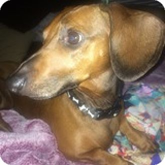 Dachshund Dog for adoption in Houston, Texas - Nute Gunray