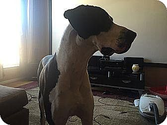 Great Dane Dog for adoption in Woodbridge, Virginia - Dane
