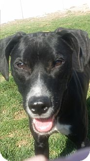 Pointer/Labrador Retriever Mix Puppy for adoption in Mechanicsburg, Pennsylvania - Tyson