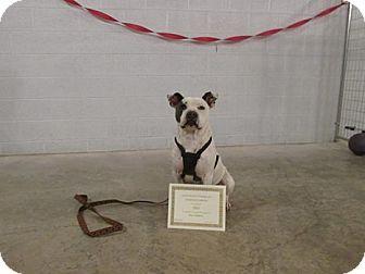 Pit Bull Terrier Dog for adoption in Stuart, Virginia - Chico