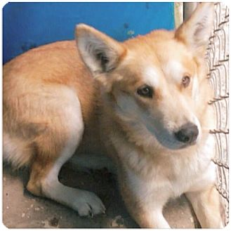 Husky Mix Dog for adoption in Pompton Lakes, New Jersey - Blondie