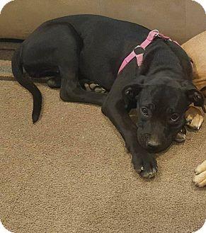 Labrador Retriever Mix Puppy for adoption in WESTMINSTER, Maryland - Millie
