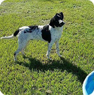 Labrador Retriever/Hound (Unknown Type) Mix Dog for adoption in Hammond, Louisiana - Cooper