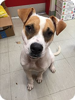 Jack Russell Terrier/Terrier (Unknown Type, Medium) Mix Puppy for adoption in Middlebury, Connecticut - June