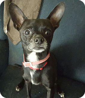 Chihuahua Mix Dog for adoption in Grand Ledge, Michigan - Elvis