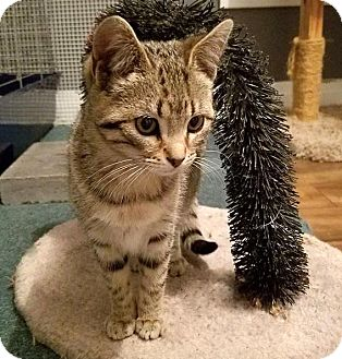 Domestic Shorthair Kitten for adoption in Lombard, Illinois - Blossom