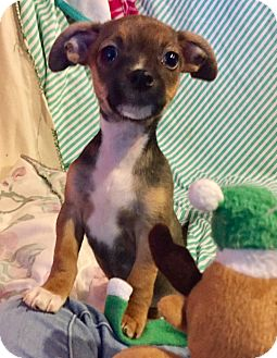 Jack Russell Terrier/Staffordshire Bull Terrier Mix Puppy for adoption in Santa Ana, California - Penelope (BH)