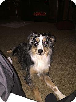 Australian Shepherd/Australian Shepherd Mix Dog for adoption in North Tonawanda, New York - Rocky