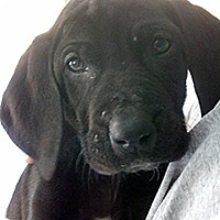 Adopt A Pet :: S Bassadors Sophie - Chantilly, VA