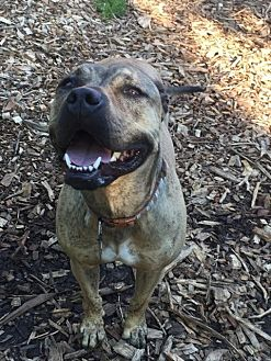 American Pit Bull Terrier Mix Dog for adoption in South Park, Pennsylvania - Koda