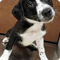 Adopt A Pet :: ADOPTED!!!   Raphael - Oswego, IL