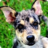 Adopt A Pet :: SIGMON(WOW! GORGEOUS PUPPY! - Wakefield, RI