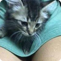 Domestic Mediumhair Kitten for adoption in Leonardtown, Maryland - Athena