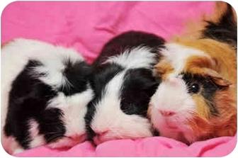 Guinea Pig for adoption in Durham, North Carolina - Julius, Claudius & Nero