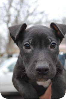 American Pit Bull Terrier Mix Puppy for adoption in Vernon Hills, Illinois - Frangelico