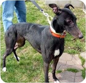 Greyhound Dog for adoption in Fremont, Ohio - Music