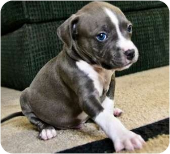 American Pit Bull Terrier Mix Puppy for adoption in Mesa, Arizona - Rocky