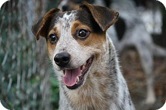Australian Cattle Dog Mix Puppy for adoption in Anderson, Indiana - Hurley