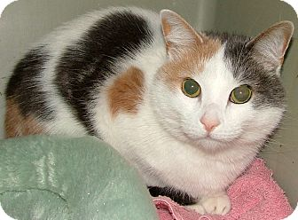 Calico Cat for adoption in Chattanooga, Tennessee - Kalinda
