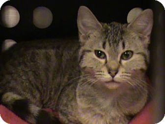 Domestic Shorthair Cat for adoption in Columbus, Georgia - Little Kitty 2314