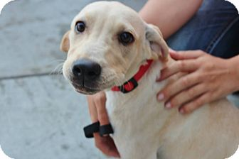 Labrador Retriever Mix Puppy for adoption in Somers, Connecticut - Tucker