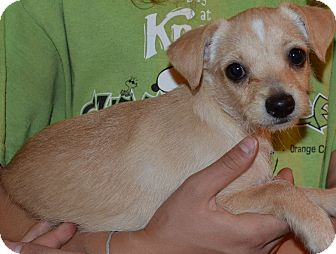Terrier (Unknown Type, Small) Mix Puppy for adoption in Simi Valley, California - Holly