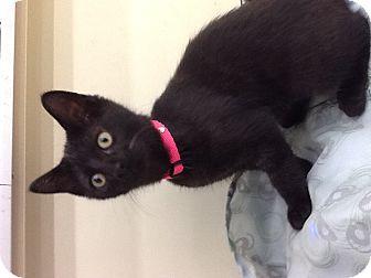 Domestic Shorthair Kitten for adoption in Warren, Ohio - Emma