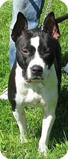 American Staffordshire Terrier Mix Dog for adoption in Mineral, Virginia - Diamond