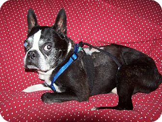 Boston Terrier Dog for adoption in Old Fort, North Carolina - George