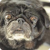 Adopt A Pet :: Gorilla - Austin, TX