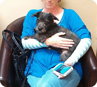 Poodle (Miniature)/Chihuahua Mix Puppy for adoption in Houston, Texas - Jackson- Cracker Jax
