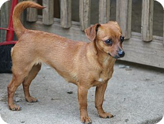 Chihuahua/Dachshund Mix Dog for adoption in Marion, North Carolina - Nellie