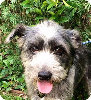 Schnauzer (Miniature) Mix Dog for adoption in Pasadena, California - NESTOR