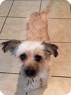 Maltese/Yorkie, Yorkshire Terrier Mix Dog for adoption in west berlin, New Jersey - TuTu Bella