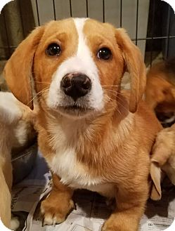 Corgi/Beagle Mix Puppy for adoption in Chicago, Illinois - Duncan*ADOPTED*