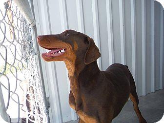 Doberman Pinscher Puppy for adoption in Albuquerque, New Mexico - Levi