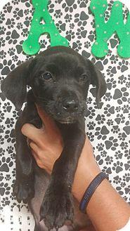 Labrador Retriever/Hound (Unknown Type) Mix Puppy for adoption in Forest Hill, Maryland - Pikachu