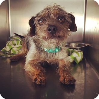 Yorkie, Yorkshire Terrier/Terrier (Unknown Type, Small) Mix Dog for adoption in Westminster, California - Sailor